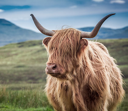 Vache Highlands - Ecosse - AdobeStock